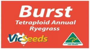 burst annual ryegrass