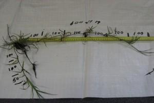 Reclaimer Rhodes Grass Image