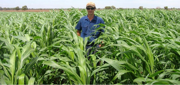 feedex forage sorghum field image