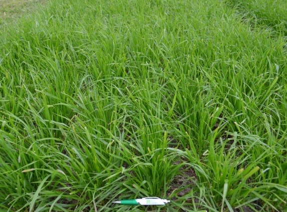 Jackpot Diploid Italian Ryegrass image