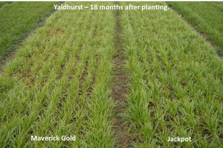 Jackpot - Yaldhurst 18 months after planting image