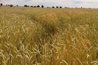 ih_seeds_endeavour_triticale