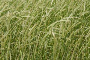 irwin_hunter_seeds_cereal_rye