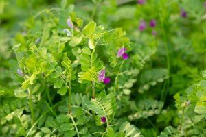 Common Vetch (Vicia sativa, Vicia angustifolia)