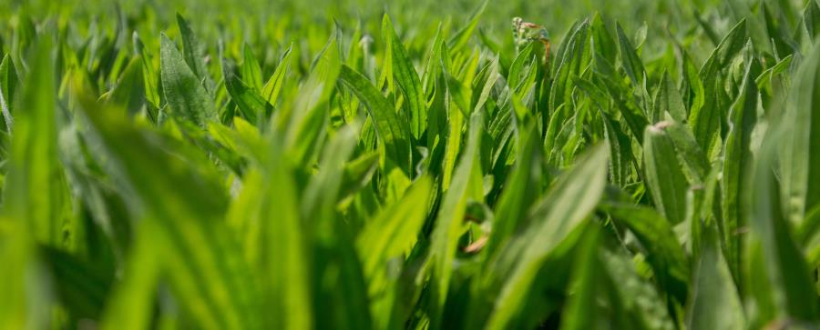 irwin_hunter_seeds_ecotain_environmental_plantain