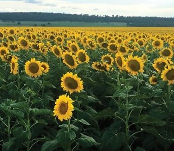 irwin_hunter_seeds_sunflower_seed